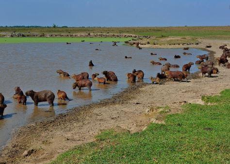 Why Do Capybaras Like to Live Near Water?